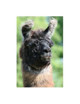 """""""Colca"""" Llama Aran yarn"""