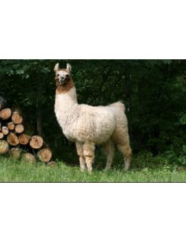 """""""Guapa"""" Llama Aran yarn"""