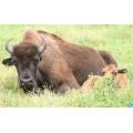 Alpaga & Bison