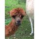 """LILY-ROSE"" DK Baby Alpaca Yarn"