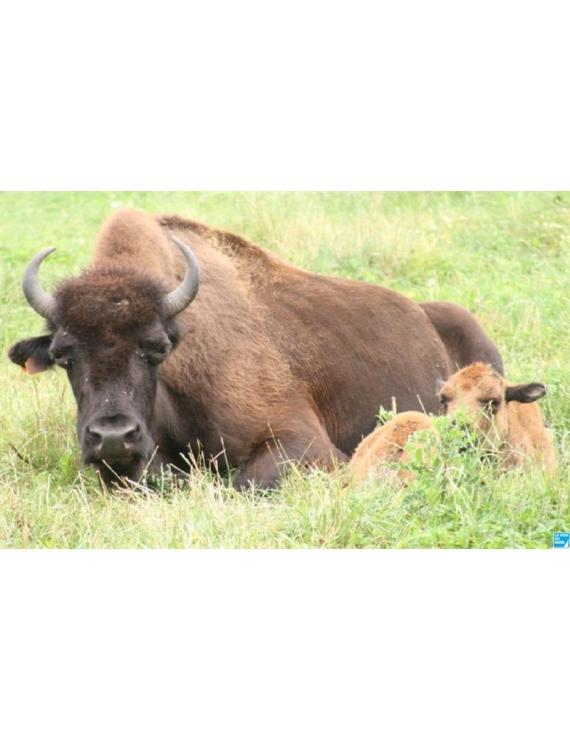 Fil fingering Alpaga Bison