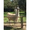 """""""Flora"""" DK Yarn Llama"""